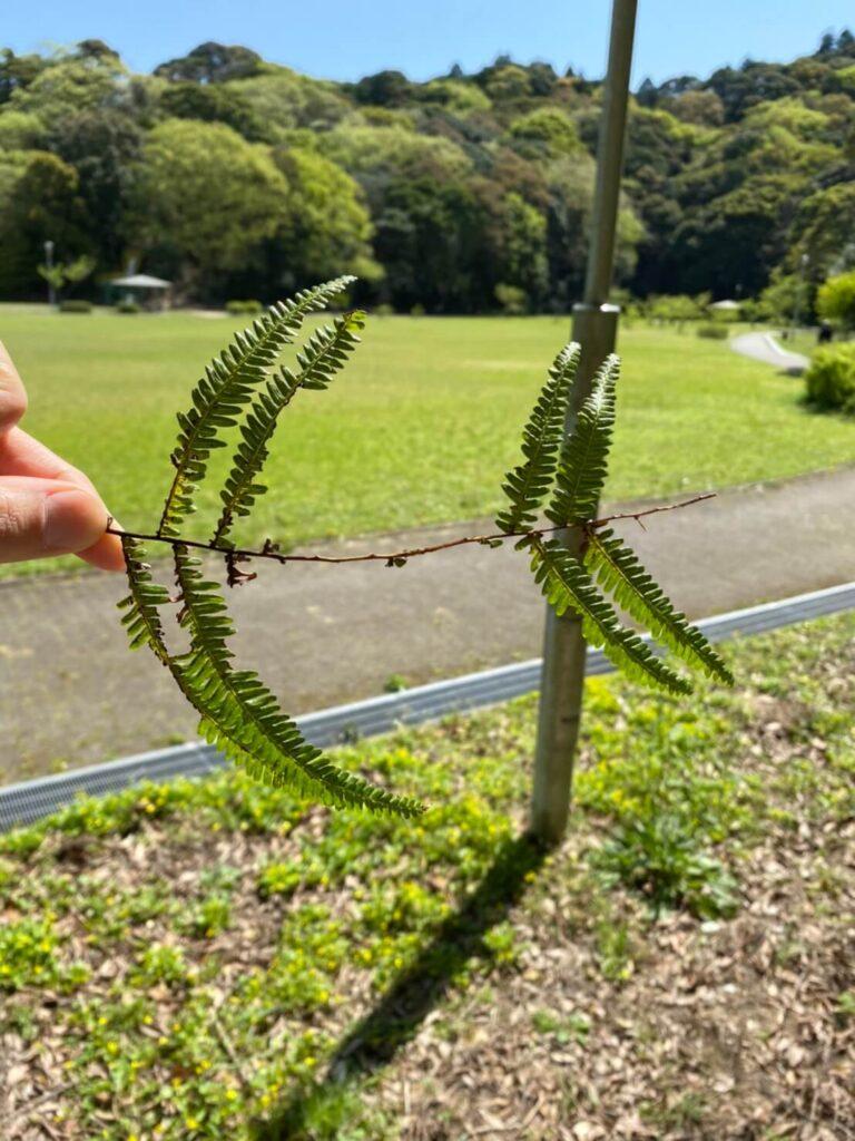 シダ植物の葉をちぎって飛行機の形にした写真